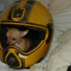 Hoky, chien Chihuahua