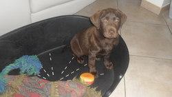 Hola, chien Labrador Retriever