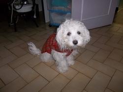 Hola, chien Bichon maltais