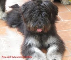 Hola De Sant Llorenc De Cerdans, chien Berger catalan