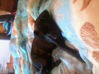 Holby, chien Labrador Retriever