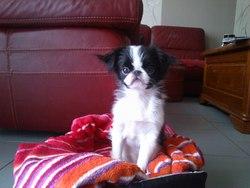 Holby, chien Épagneul japonais