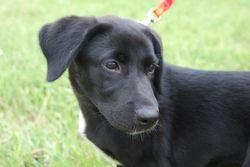 Holdup, chien Braque de Weimar