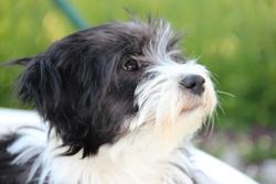 Holga, chien Terrier tibétain