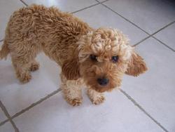 Holga, chien Caniche