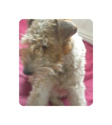 Holga, chien Fox-Terrier