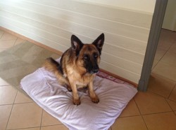 Holga, chien Berger allemand