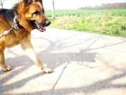 Holia, chien Berger allemand