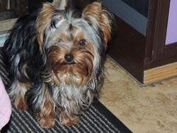 Holiday, chien Yorkshire Terrier