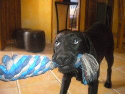Holie, chien Labrador Retriever