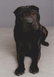 Holly, chien Shar Pei