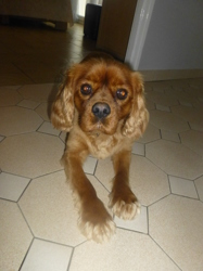 Holly, chien Cavalier King Charles Spaniel