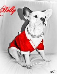 Holly, chien Bouledogue français
