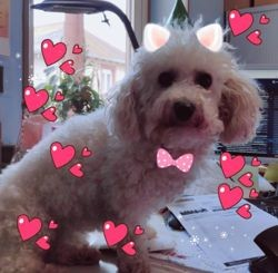 Holly, chien Bichon à poil frisé