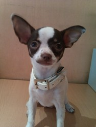 Holly, chien Chihuahua
