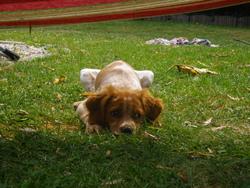 Holly, chien Épagneul breton