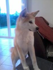 Holly, chien Akita Inu