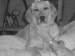 Holly, chien Golden Retriever