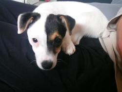 Holly, chien Jack Russell Terrier