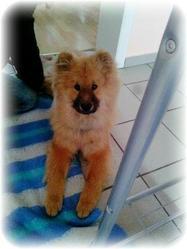 Holly, chien Eurasier