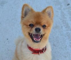 Holly, chien Spitz allemand