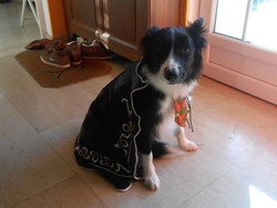 Holly, chien Border Collie