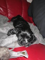 Holly, chien Cocker américain