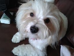 Holly, chien Coton de Tuléar