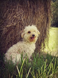 Holly, chien Caniche