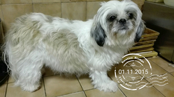 Holly, chien Shih Tzu