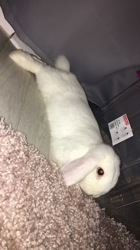 Holly, rongeur Lapin