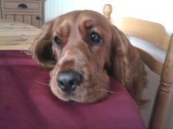 Holly, chien Cocker anglais