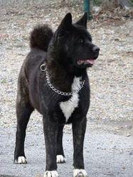 Holly Du Territoire Des Ours, chien Akita américain