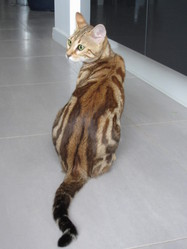 Holly Pop, chat Bengal