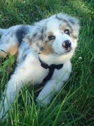 Holly-Wood, chien Berger australien