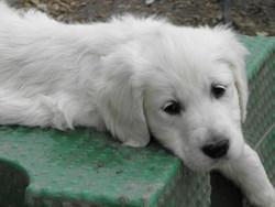 Hollyday, chien Golden Retriever