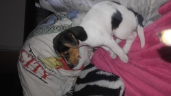 Hollye, chien Jack Russell Terrier