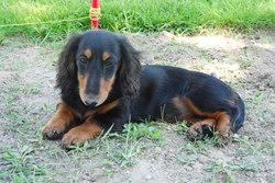 Hollye, chien Teckel