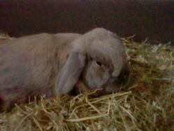 Hollywood, rongeur Lapin