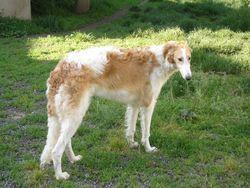 Holsky De Prjevalski, chien Barzoï
