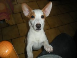 Holy, chien Jack Russell Terrier
