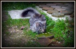 Homaley, chat Norvégien