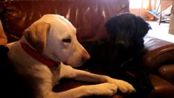 Homer, chien Setter Gordon