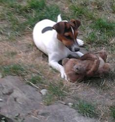 Homer, chien Jack Russell Terrier