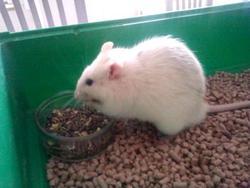 Homer Dcd, rongeur Rat