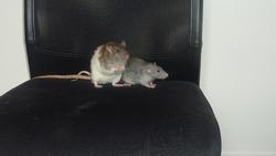 Homer Et Milo , rongeur Rat