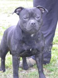 Homicide Volontaire , chien Staffordshire Bull Terrier