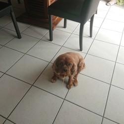 Hona, chien Cavalier King Charles Spaniel