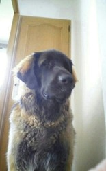 Honey, chien Leonberger
