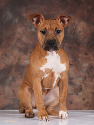 Honey, chien American Staffordshire Terrier